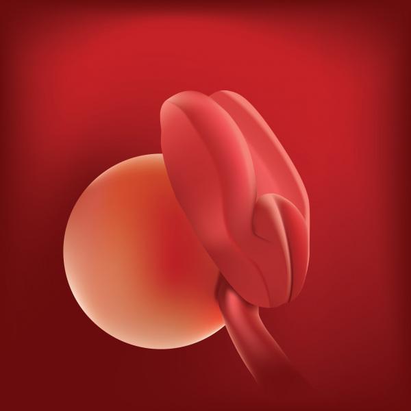 الجنين فى الأسبوع الثانى من الحمل