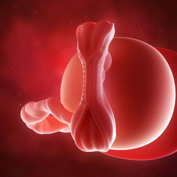 الجنين فى الأسبوع الخامس الشهر الأول من الحمل